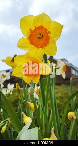 Narzisse, Osterglocke (Narcissus spec.), Grosskronige Narzissen, bluehend im Zierrasen, Deutschland | daffodil (Narcissus - Stock Photo