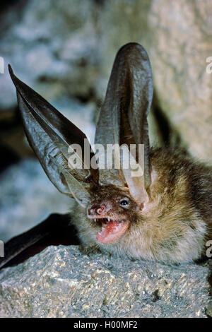 Braunes Langohr, Braune Langohrfledermaus, Grossohr (Plecotus auritus), drohend, Portraet, Deutschland | brown long - Stock Photo