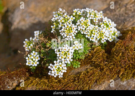 Chamois Cress, Chamois Grass (Hornungia alpina, Pritzelago alpina, Hutchinsia alpina, Iberidella alpina), blooming, - Stock Photo