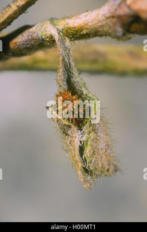 Kleiner Eisvogel, Kleiner Eisfalter (Ladoga camilla, Limenitis camilla), Ueberwinterung der Raupe in einem trockenen - Stock Photo