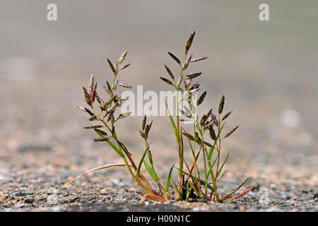 Kleines Liebesgras (Eragrostis minor, Poa eragrostis), bluehend auf einem Buergersteig, Deutschland | Little love - Stock Photo