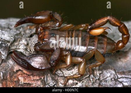Italian scorpion (Euscorpius italicus), on bark