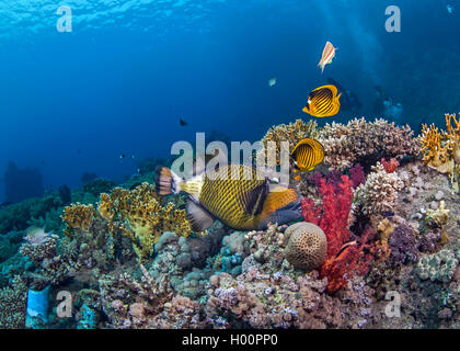 Seasacape of titan triggerfish feeding on coral reef with raccoon butterflyfish fluttering above. Red Sea, Egypt. - Stock Photo