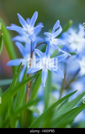 Schneeglanz, Schneestolz, Sternhyacinthe, Gewoehnliche Sternhyazinthe (Chionodoxa luciliae, Scilla luciliae, Chionodoxa - Stock Photo