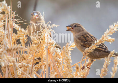 house sparrow (Passer domesticus), feeds on a wheat ear, Germany, Bavaria, Niederbayern, Lower Bavaria - Stock Photo