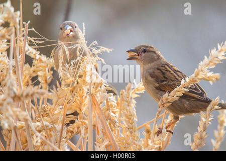 house sparrow (Passer domesticus), feeds on a wheat ear, Germany, Bavaria, Niederbayern, Lower Bavaria - Stock Photo