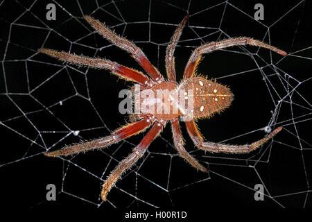 Radnetzspinne, Radnetz-Spinne, Eriophora fuliginea (Eriophora fuliginea), in ihrem Netz, Costa Rica | ord-weaving - Stock Photo