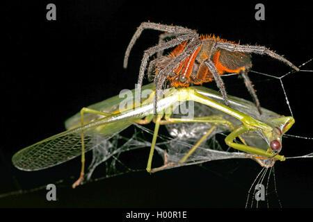 Radnetzspinne, Radnetz-Spinne, Eriophora fuliginea (Eriophora fuliginea), mit erbeuteter Gottesanbeterin, Costa - Stock Photo