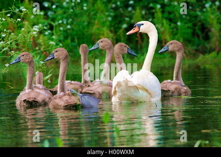 mute swan (Cygnus olor), with chicks on a pond, Germany - Stock Photo