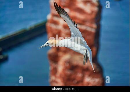 northern gannet (Sula bassana, Morus bassanus), in flight in front of Lange Anna rock, Germany, Schleswig-Holstein, - Stock Photo