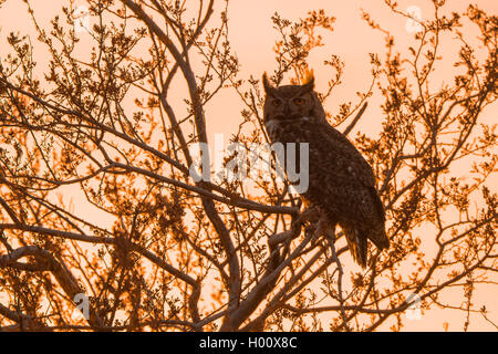 great horned owl (Bubo virginianus), sitting on a tree at sunset, USA, Arizona - Stock Photo