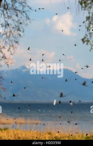 Gemeine Eintagsfliege, Braune Maifliege (Ephemera vulgata), Hochzeitsflug vor See und Alpenpanorama, Deutschland, - Stock Photo