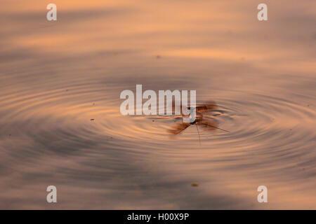 Gemeine Eintagsfliege, Braune Maifliege (Ephemera vulgata), von Wasseroberflaeche startend, Deutschland, Bayern, - Stock Photo