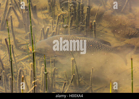 carp, common carp, European carp (Cyprinus carpio), carp dabbles at the bottom, Germany, Bavaria - Stock Photo