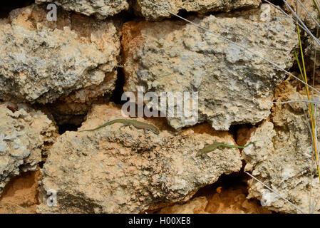 Moroccan rock lizard, Menorca wall lizard (Podarcis perspicillata, Lacerta perspicillata, Teira perspicillata, Scelarcis - Stock Photo
