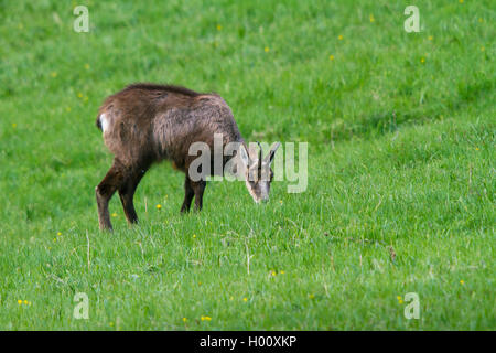 chamois (Rupicapra rupicapra), grazing in a mountain meadow, Switzerland, Grisons, Zernez - Stock Photo