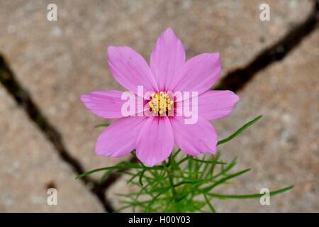 Schmuckkoerbchen, Schmuck-Koerbchen, Fiederblaettrige Schmuckblume, Cosmea, Kosmee (Cosmos bipinnatus), verwildert - Stock Photo