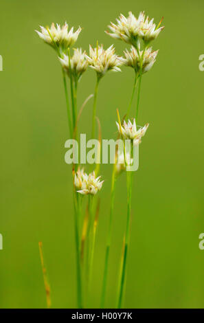 white beak-sedge (Rhynchospora alba), blooming, Germany, Bavaria, Murnauer Moos - Stock Photo