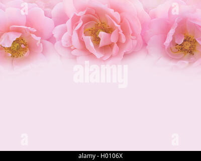 Three delicate pink roses on the pale pink background toned image - Stock Photo