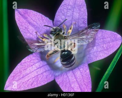 Grauschuppige Sandbiene (Andrena pandellei), Weibchen auf Glockenblumen-Bluete (Campanula spec.), Deutschland | - Stock Photo