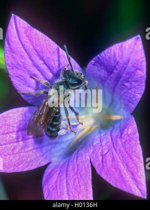 Grauschuppige Sandbiene (Andrena pandellei), Maennchen auf Glockenblumen-Bluete (Campanula spec.), Deutschland | - Stock Photo
