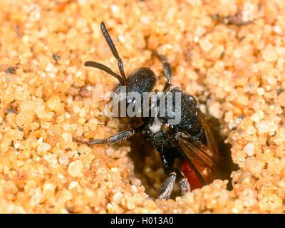 Grosse Blutbiene, Grosse Blut-Biene (Sphecodes albilabris), Weibchen verlaesst nach Eiablage das Nest der Fruehlings - Stock Photo