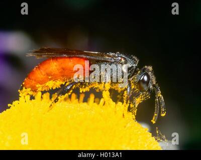 Grosse Blutbiene, Grosse Blut-Biene (Sphecodes albilabris), Weibchen bei der Nektaraufnahme auf Margerite (Leucanthemum - Stock Photo