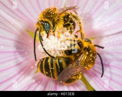 Malven-Langhornbiene, Malvenlanghornbiene, Langhorn-Malvenbiene, Langhornmalvenbiene (Tetralonia macroglossa, Eucera - Stock Photo
