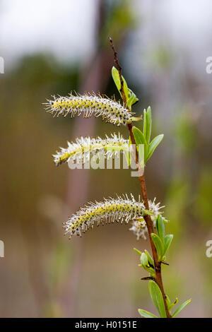 Purpur-Weide, Purpurweide (Salix purpurea), maennliche Bluetenkaetzchen, Deutschland | purple osier, purple willow, - Stock Photo