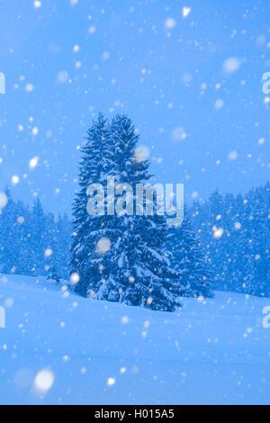 Gemeine Fichte, Gewoehnliche Fichte (Picea abies), Verschneite Fichten bei Schneefall, Schweiz | Norway spruce (Picea - Stock Photo