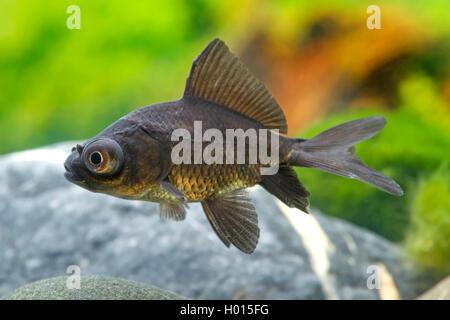 Goldfisch, Goldkarausche (Carassius auratus Black Moon), Black Moon | goldfish, common carp (Carassius auratus Black - Stock Photo
