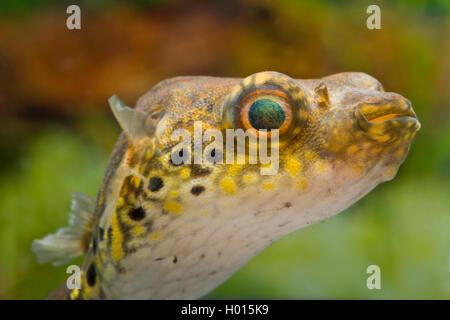 Humpback Puffer, Puffer fish, Figure-eight puffer, Striped puffer (Tetraodon steindachneri, Tetraodon biocellatus, Tetraodon palembangensis, Pao palembangensis), swimming