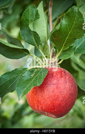 Organically grown Gala apples on tree. - Stock Photo