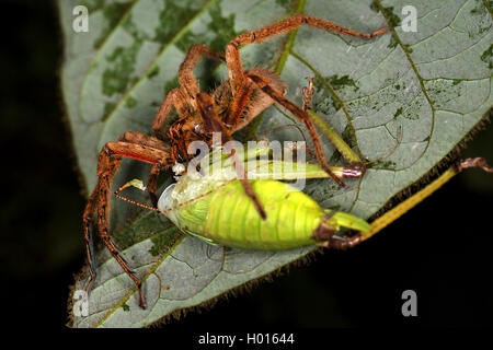 Wandering spider, Banana spider (Cupiennius getazi), with prey on a leaf, spider feeding a grasshopper, Costa Rica - Stock Photo