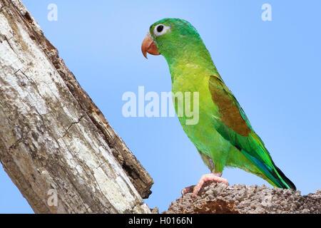 orange-chinned parakeet (Brotogeris jugularis), on a dead tree - Stock Photo