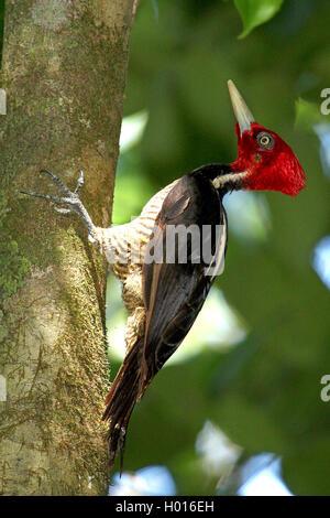 Koenigsspecht, Koenigs-Specht (Campephilus guatemalensis), Maennchen an einem Baumstamm, Costa Rica | pale-billed - Stock Photo
