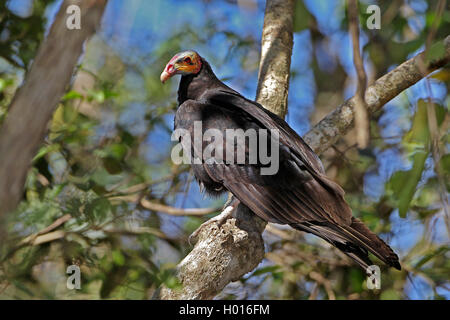 lesser yellow-headed vulture (Cathartes burrovianus), sits on a branch on a tree, Costa Rica - Stock Photo