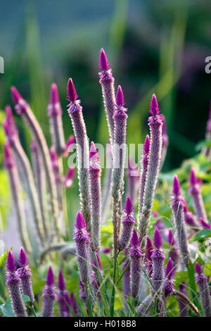 Plumed cockscomb, fireweed, Red Spinach (Celosia argentea), blooming, Seychelles - Stock Photo