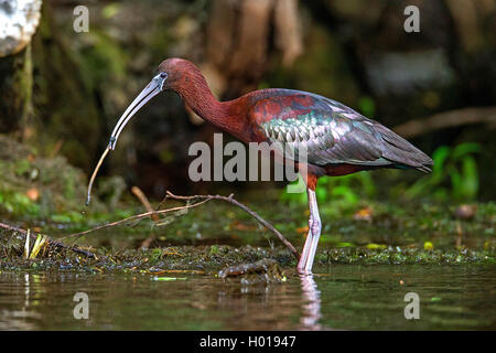 glossy ibis (Plegadis falcinellus), standing in shallow water with a worm in the bill, side view, Romania, Danube - Stock Photo