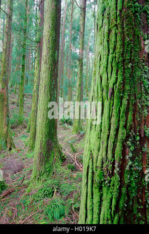 Japanese cedar (Cryptomeria japonica), view into the undergrowth of a conifer forest, Portugal, Azores, Sao Miguel - Stock Photo
