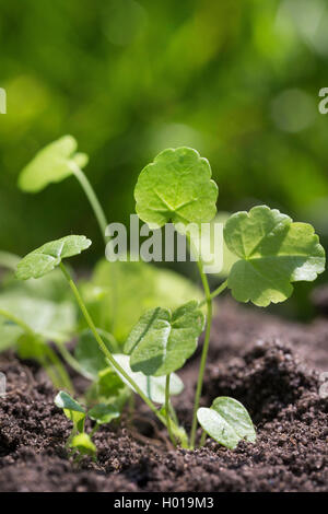 musk mallow, musk cheeseweed (Malva moschata), young leaves, Germany - Stock Photo
