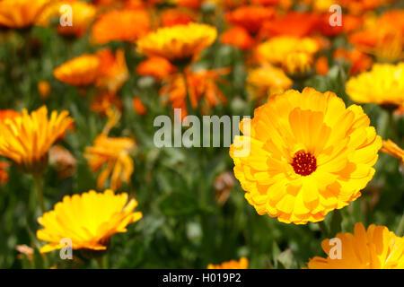 garden-pot marigold (Calendula officinalis), booming plants - Stock Photo