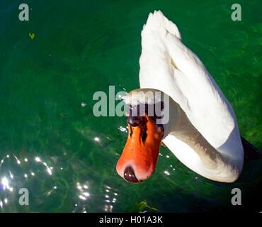 mute swan (Cygnus olor), swimming swan, France - Stock Photo