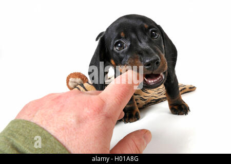 Kurzhaardackel, Kurzhaar-Dackel, Kurzhaarteckel, Kurzhaar-Teckel, Teckel, Dachshund (Canis lupus f. familiaris), - Stock Photo