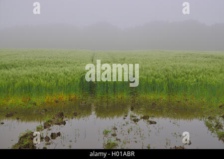 barley (Hordeum vulgare), puddle after heavy rain on a barley field, Germany, North Rhine-Westphalia, Ruhr Area, - Stock Photo