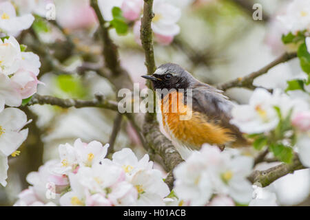 Gartenrotschwanz, Garten-Rotschwanz (Phoenicurus phoenicurus), Maennchen sitzt im Apfelbaum, Deutschland   common - Stock Photo