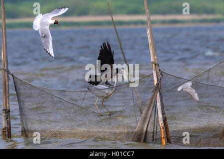 Hooded crow (Corvus corone cornix, Corvus cornix), hooded crow and grwey heron on a fishing net, Germany, Mecklenburg - Stock Photo