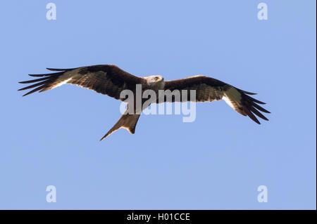 Rotmilan, Rot-Milan (Milvus milvus), im Flug, Deutschland, Mecklenburg-Vorpommern   red kite (Milvus milvus), in - Stock Photo