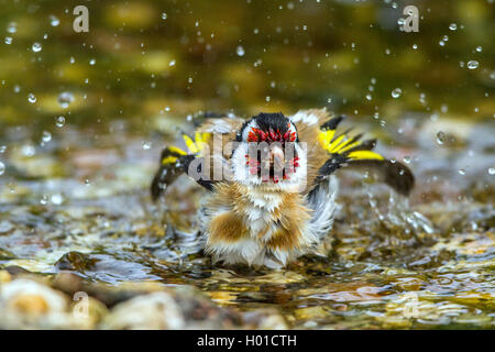 Eurasian goldfinch (Carduelis carduelis), bathes in abrook, Germany, Mecklenburg-Western Pomerania - Stock Photo