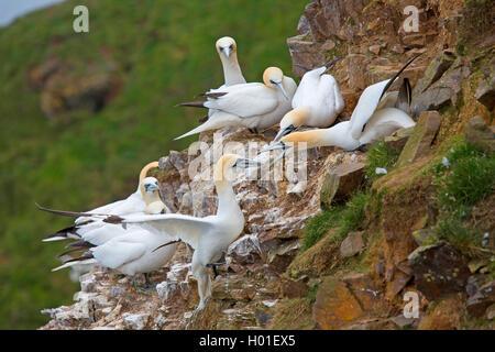Basstoelpel, Bass-Toelpel (Sula bassana, Morus bassanus), Revierstreitigkeiten am Vogelfelsen, Grossbritannien, - Stock Photo